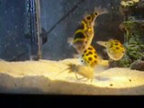 green spotted puffer fish eating crayfish