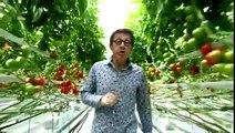 Tomates : pourquoi et comment les cultive-t-on sous serre ?
