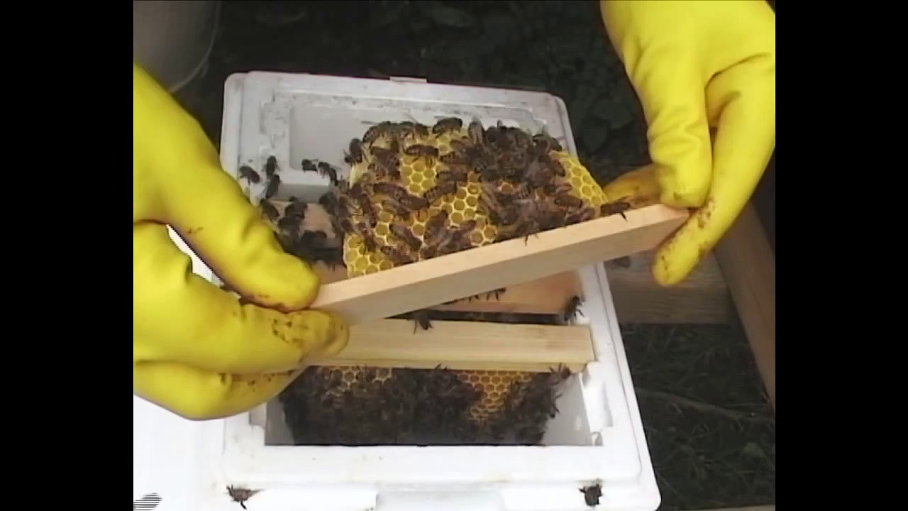 Checking Warnholz Mini Nuc's (Nucleus) – Queen Rearing Beekeeping Techniques