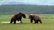 Battle Of The Giant Alaskan Grizzlies, grizzly vs grizzly, alaska