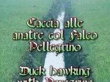 Falconry Duck hawking with peregrine falcon. Falconeria Cetreria Caccia col Falco pellegrino