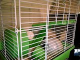 Lloyd Christmas, my new teddy bear hamster!