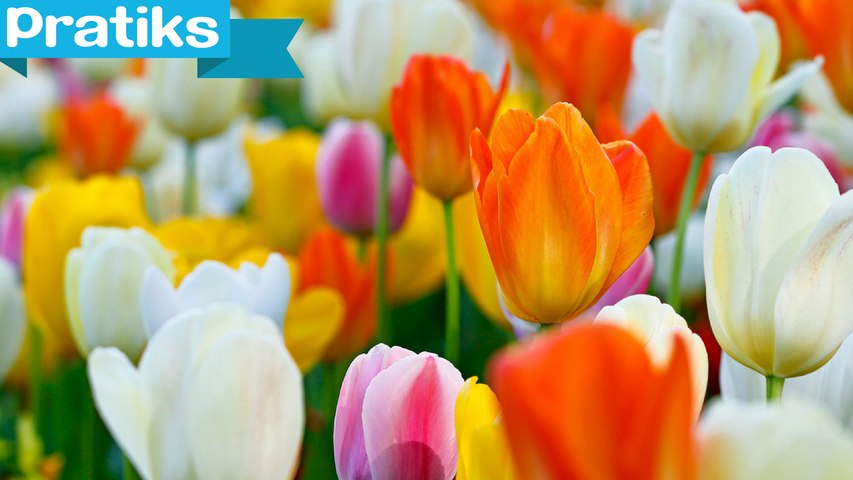L'astuce pour redonner vie à un bouquet de tulipes - Gaël gagne du temps