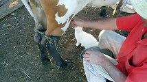 INCROYABLE Ce Chat tête directement au Pie de la Vache