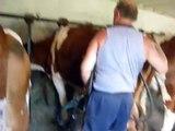 La Traite des vaches Montbéliardes