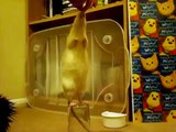 Pet rats - quick tricks to teach for fun