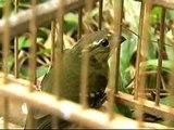 30 mil pássaros são retirados de florestas brasileiras