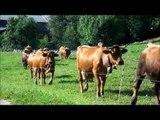 Voyage: Traite des vaches de montagnes en prairie - Milking mountain cows