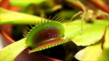 Insect Flesh Eater -The Carnivorous Venus Flytrap Versus The Spider