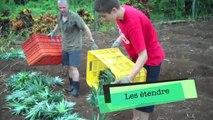 Comment planter des ananas