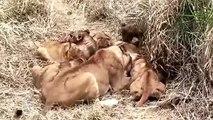 Lioness and Cubs Fight for Impala Carcass  雌ライオンとカブスはインパラ枝肉のために戦います