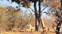 Leopard Attack: Leopard Jumps From Tall Tree To Ambush Impala