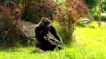 Feeding of Western Lowland Gorilla in Opole Zoo Karmienie Goryla Nizinnego w Zoo Opole