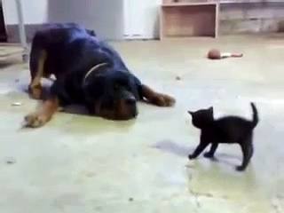 Gatito enfrenta a Rottweiler !!!