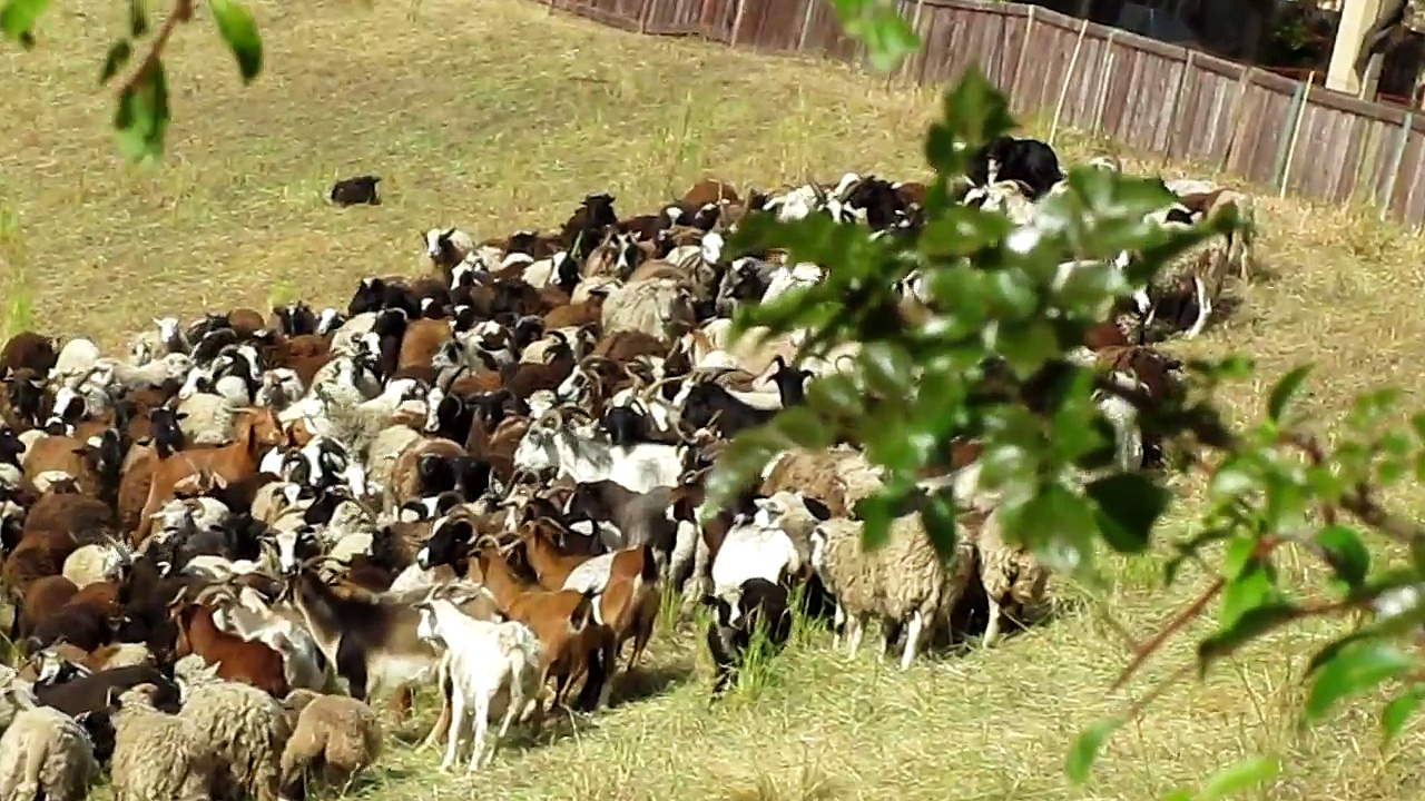 Sheep & Goats Grazing 5