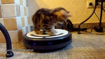 Kittens Cleans The Kitchen on a Roomba . Funny Cats