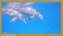 NAGE AVEC LES DAUPHINS en mer rouge, swim with dolphins in red sea