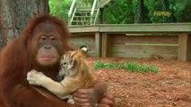 Un orang-outan adopte des bébés tigres
