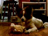 The butterfly and the lamb: Papillon (dog) puppy & toy
