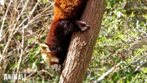 World's CUTEST ANIMALS ever?! RED PANDAS climbing, eating, playing, standing and sleeping.