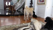 Great Dane Puppy 3 months old, Anatolian Puppies 10 months old, Giant Standard Poodle playing