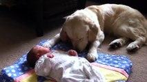 Golden retriever puppy: Amazing footage - golden retriever puppies great with babies and children