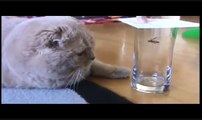 Cutest SCOTTISH FOLD BABY CAT meowing, swatting insect, cuddling cute stuffed teddy bear toy