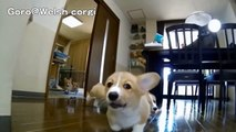 Mad Max Puppies / cute corgi puppies / Goro@Welsh corgi channel コーギー子犬 軍団