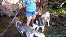 Siberian Huskies in the Water - Does Oakley Like water?