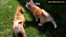 Shiba Inu, Puppies For Sale, In Macon, Georgia, GA, 19Breeders, Athens,Augusta, Columbus