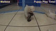 Maltese, Puppies For Sale, In Macon, Georgia, GA, 19Breeders, Athens,Augusta, Columbus