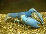 My crayfish, and crayfish father and mother