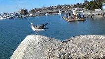 Ave Gaviota De Cerca Costa De California Larus Occidentalis