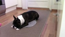 Therapy dog and READ dog target training with a Boston Terrier