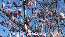 You Are My Spring -  Tu Esti Primavara Mea - ( Song Aurelian Andreescu )
