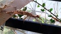 La danse des phasmes - stick insect dance