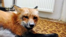 Funny & Friendly Fox at Home ! - Очень Забавная Лиса - Прикол !
