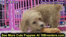 Bichon Frise, Puppies For Sale, In Atlanta, Georgia, GA, 19Breeders