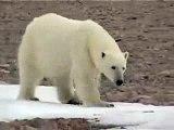 Polar Bear - Ours Polaire