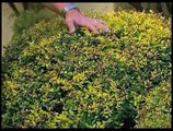 How To Identify And Control Powdery Mildew On Juponica Shrubs