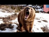 Mother grizzly bear mauls woman in Alaska to protect cute cubs