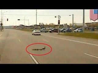 Kaczki na jezdni, policja reaguje!
