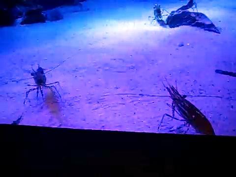 Amazing Shrimp Swim