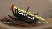 Brachypelma Smithi 9th Level