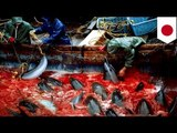 Japan dolphins slaughter: More than 200 dolphins to be killed at Taiji cove