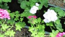Géraniums: comment les planter et bien les entretenir
