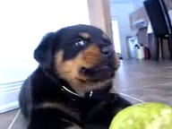Rottweiler puppy – Anya