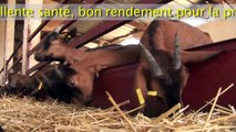 Vente chèvres laitières race Alpine - Meknès - Maroc - achat sur place