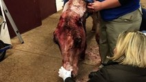 Horse who spends two days tangled in barbwire, saved by Blaze's Tribute Equine Rescue center