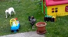 Mon chien contre ma poule : poule 1 chien 0 !!